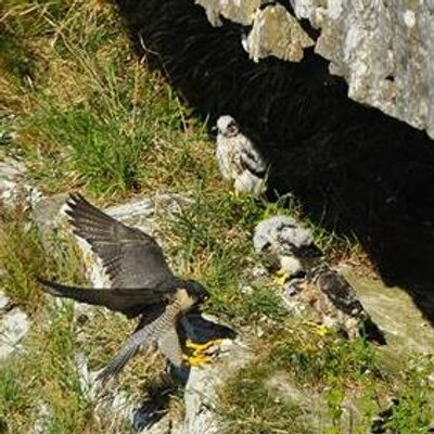Peregrines at Malham Cove