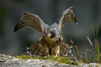 Fledgling Peregrine at Makahm Cove 2008 - Photo: Neil Aldridge