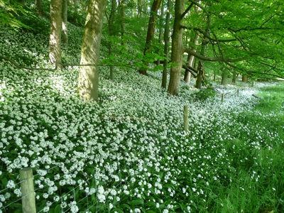 Wild garlic by the River Ribble