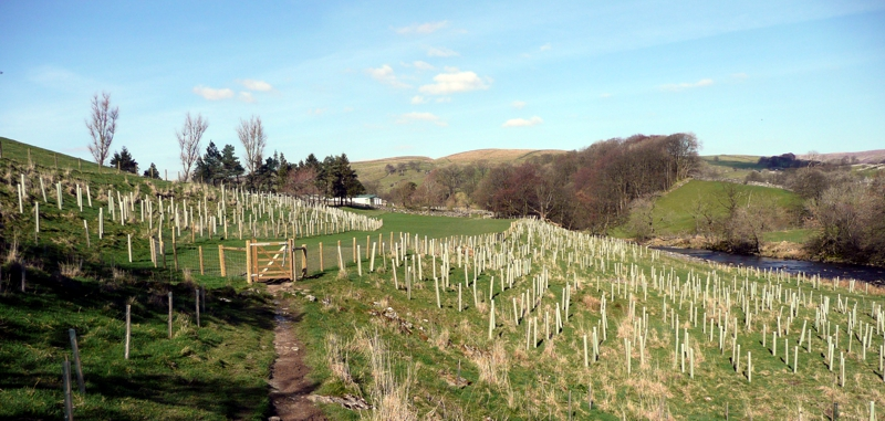 New trees planted alongside the River Ribble near Stainforth Force.